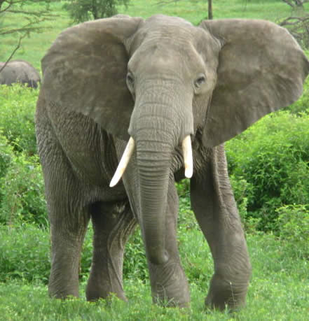 binatang besar berbelalai yang di kebun binatang akan s